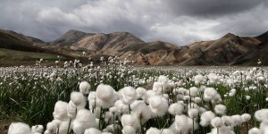cotton-grass-iceland_30726_990x742